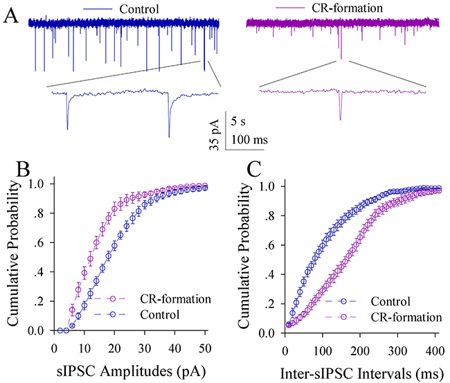 Inhibitory synaptic transmission on the pyramidal neurons of the piriform cortices decreases in CR-formation mice.