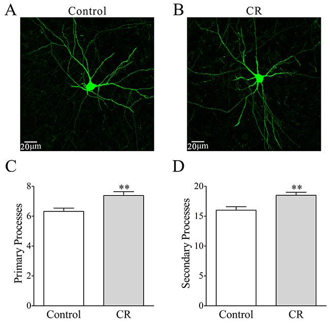 The processes of GABAergic neurons in the piriform cortices increase after pairing WS and OS.