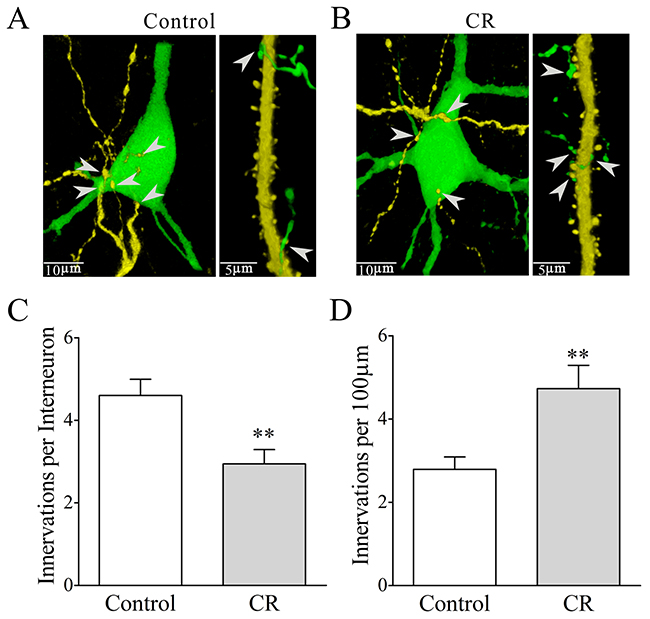Mutual innervations between excitatory and inhibitory neurons are upregulated in associative learning.
