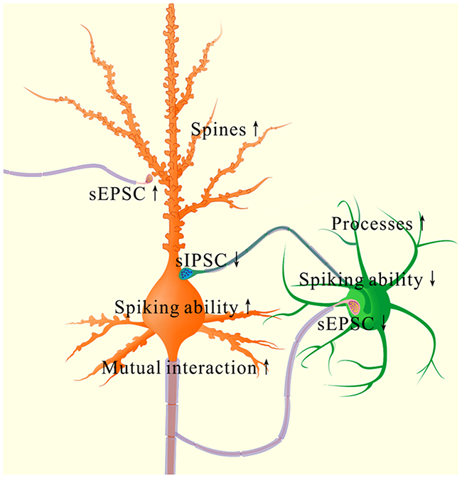 The coordinated plasticity between excitatory and inhibitory neurons in the piriform cortex for memory formation.