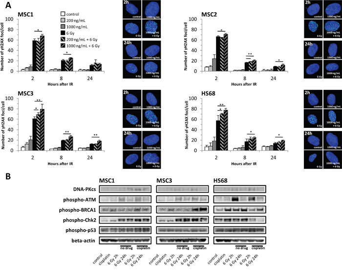Cisplatin pre-treatment causes prolonged DNA damage signaling and increased radiation-induced DNA double-strand breaks in MSCs.