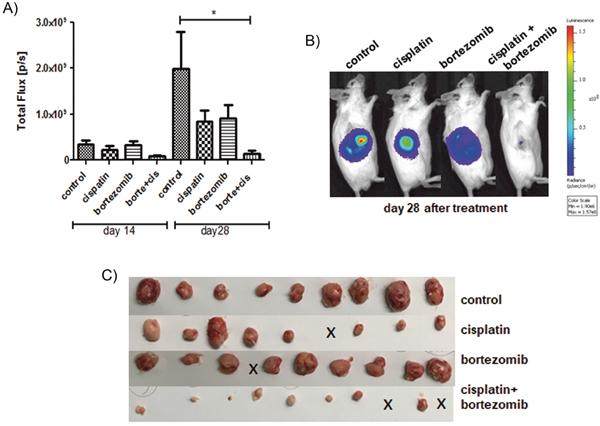 Addition of bortezomib enhances the antiproliferative effect of cisplatin in vivo.