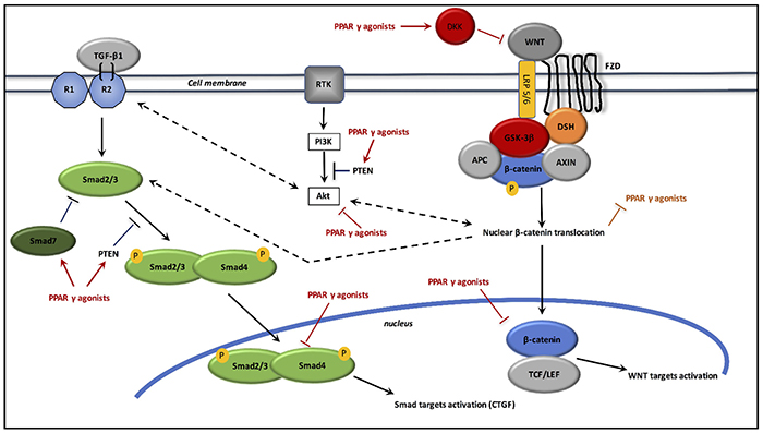 Interactions between TGF-β1, canonical WNT/β-catenin pathway and PPAR γ agonists in radiation-induced fibrosis.