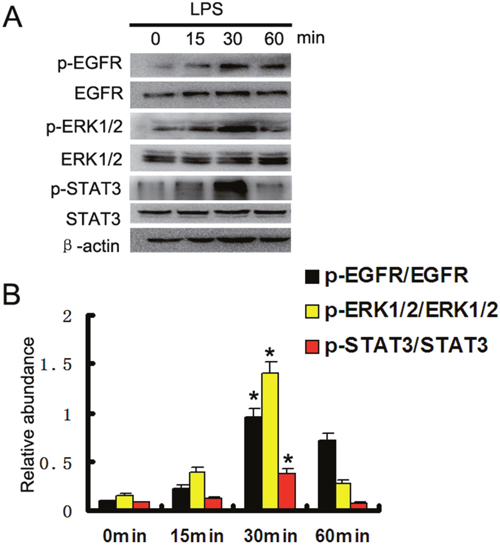 LPS induced activation of EGFR, ERK1/2, and STAT3 pathways in HK-2 cells.