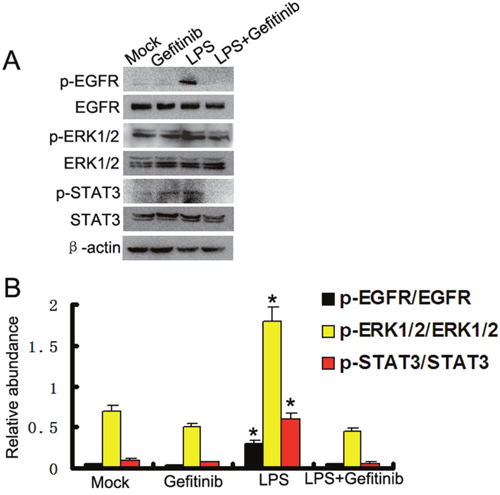 Gefitinib suppressed LPS induced ERK1/2 and STAT3 phosphorylation by blocking EGFR activation in HK-2 cells.