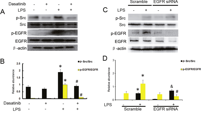 c-Src mediates the LPS induced EGFR activation in HK-2 cells.