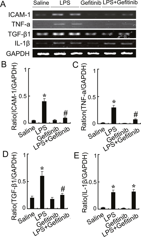 Gefitinib suppressed expression of ICAM-1, TNF-α, and TGF-β1 by blocking EGFR activation in a LPS induced AKI model.