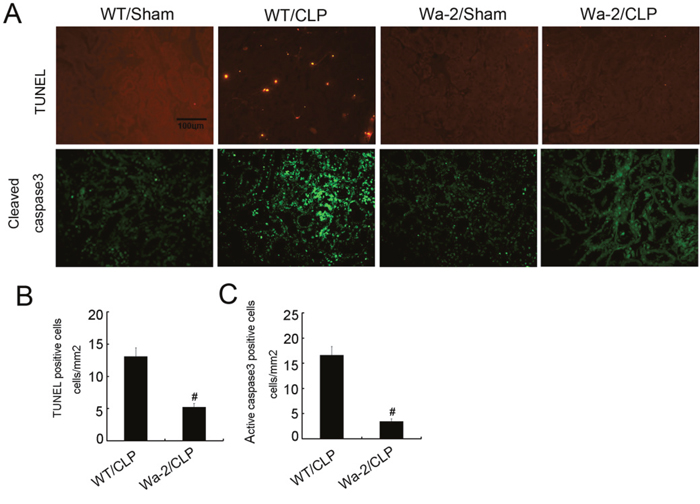 CLP induced renal cell apoptosis is reduced in Wa-2 mice.