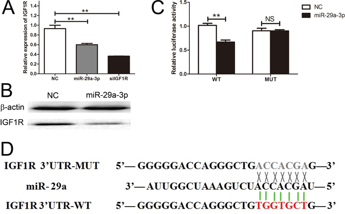 IGF1R was a direct target gene of miR-29a-3p.