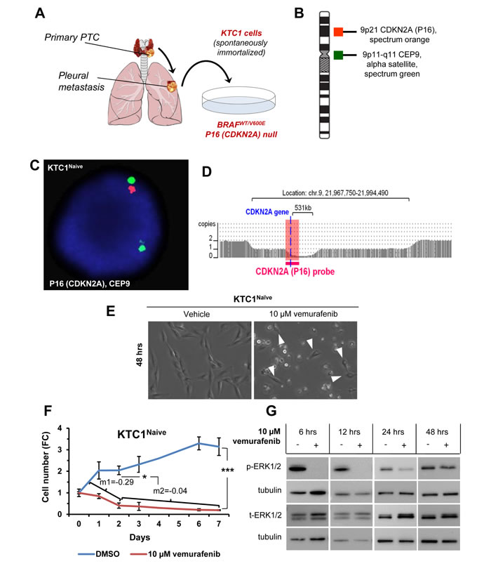 Model of primary resistance to vemurafenib using PTC patient-derived cells harboring the heterozygous BRAF