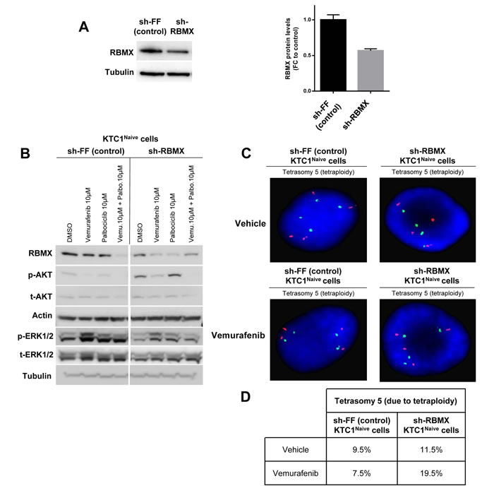 RBMX knock-down contributes to tetraploidy in PTC patient-derived cells with BRAF