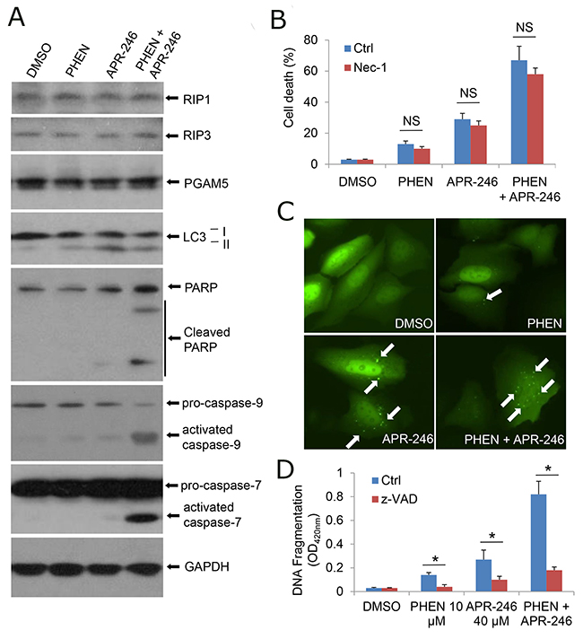 Inhibition of PARP-1 enhances APR-246-induced apoptosis in HNSCC cells.
