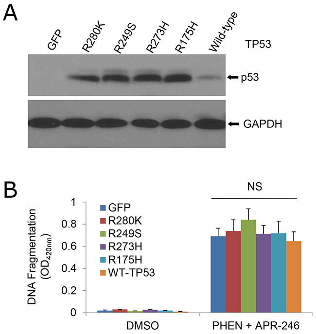 Sensitivity of cells to the cotreatment of PHEN and APR-246 is independent of TP53 mutation.