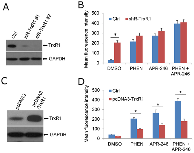 TrxR1 is necessary for PHEN- and APR-246-induced ROS accumulation.