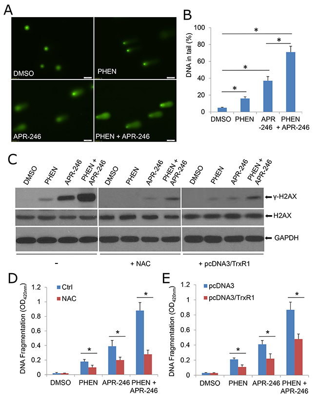 APR-246 treatment induces DNA damage, which is enhanced by PARP inhibition.