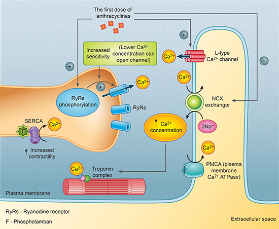 The first dose of anthracyclines' influence on calcium channels.