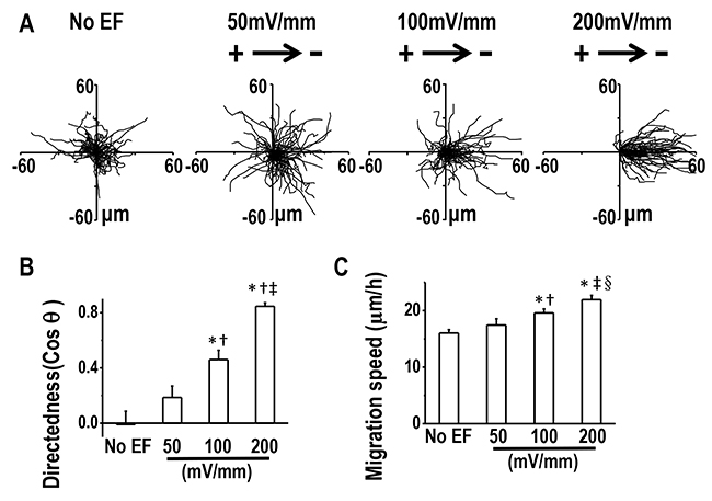 Directional migration of H1650-M3 cells in EFs are voltage-dependent.