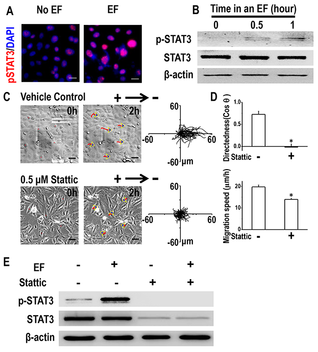 STAT3 activation is required for galvanotaxis of H1650-M3 cells.