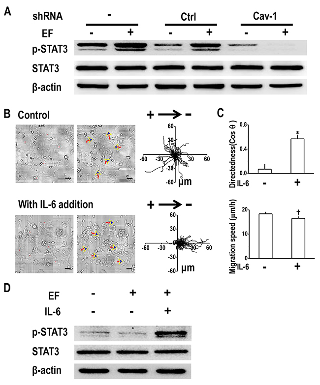 Cav-1-mediated STAT3 activation determines electrotaxis of H1650-M3 cells.