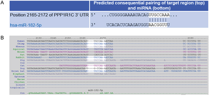 Prediction of PPP1R1C as a target of miR-182.