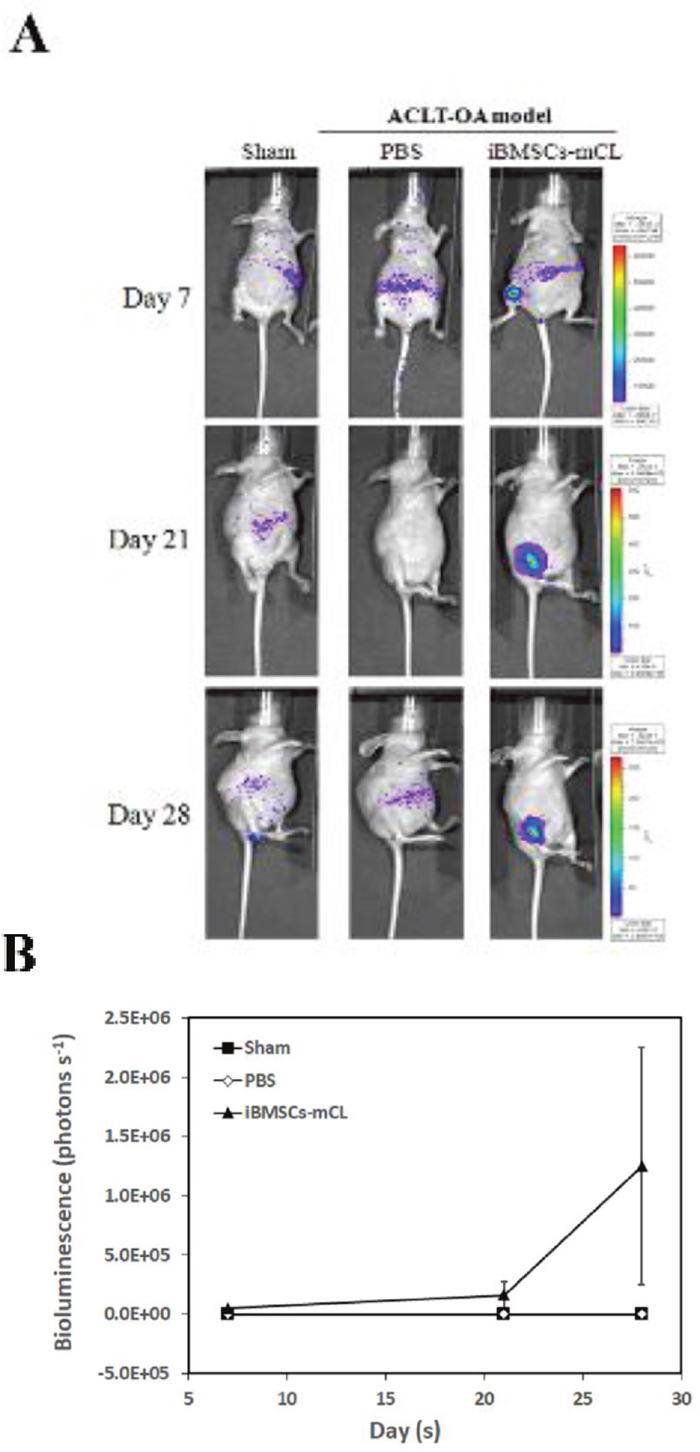 Bioluminescent imaging of anterior cruciate ligament transaction induced-osteoarthritis (ACLT-OA) mice injected with iBMSCs-mCL.