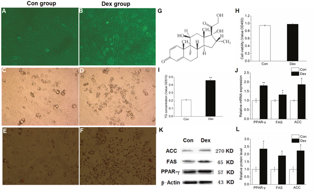 Effect of 10-6 M DEX on the differentiation induction and lipid metabolism related gene expression of porcine preadipocytes.