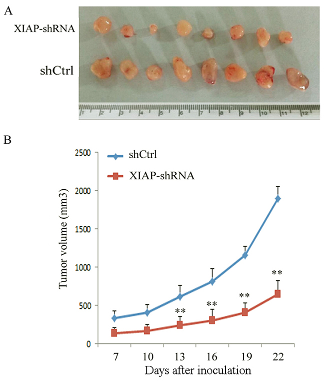 Knockdown of XIAP decreased the tumor growth of tumor-bearing nude mice in an ATC xenograft model.