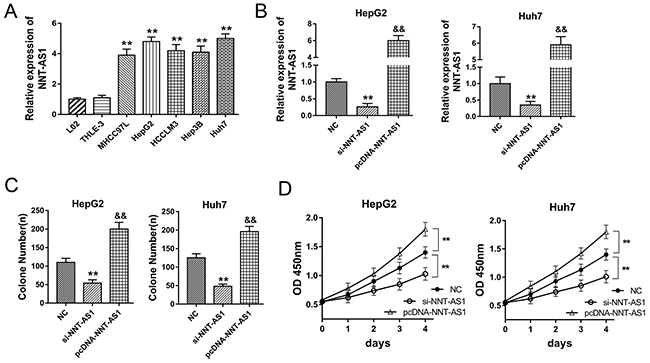 NNT-AS1 promoted the proliferation of HCC cells in vitro.