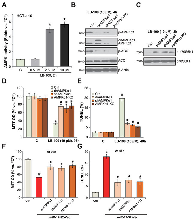 AMPK activation is required for LB-100/miR-17-92-induced cytotoxicity in HCT-116 cells.