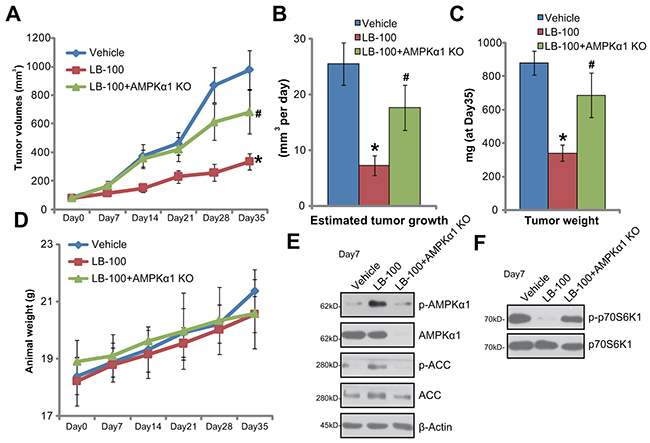 LB-100 administration activates AMPK signaling and inhibits HCT-116 tumor growth in nude mice.