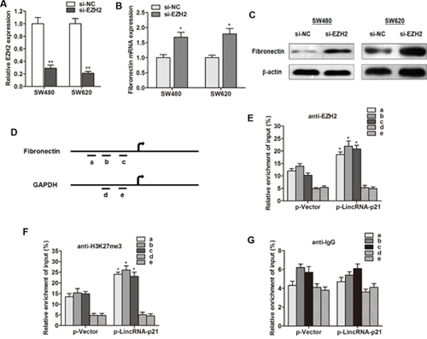 LincRNA-p21 represses fibronectin expression by associating with EZH2.