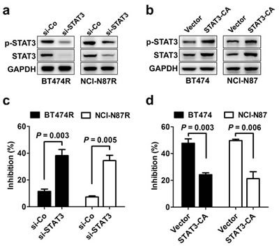 STAT3 activity regulates sensitivity to trastuzumab treatment.