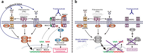 Schematic presentation of the molecular mechanism of trastuzumab resistance mediated by STAT3-dependent feedback loop and corresponding targeting strategy.