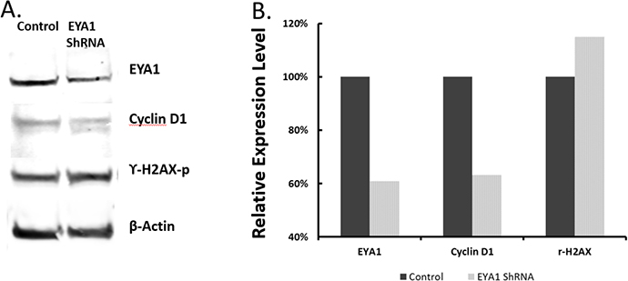 Effects of EYA1 knockdown on expression of cyclin D1 and phosphorylated γH2AX histone.