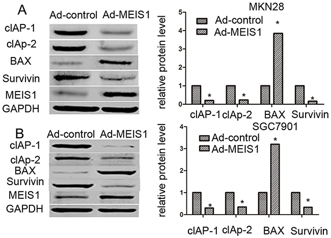 MEIS1 reduces the protein level of pro-survival and enhances the expression of pro-apoptosis regulator.