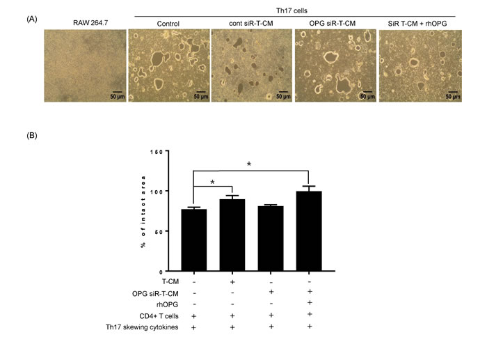 Th17 cells induce osteoclastogenesis in the absence of RANKL stimulation.