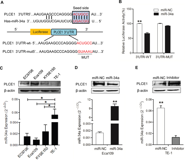 MiR-34a downregulates PLCE1 expression by directly targeting its 3′-UTR.