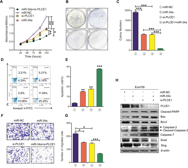 The knockdown of PLCE1 by siRNA promotes the antitumor effects of miR-34a.