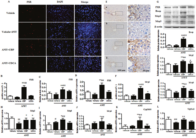 CBP increases expression of FXR, BA transporters, and metabolic enzymes in mice with intrahepatic cholestasis.