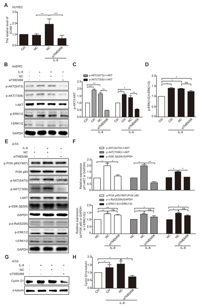 Investigation of possible signaling pathway related to TMEM98 in IL-8-treated vascular wall cells.