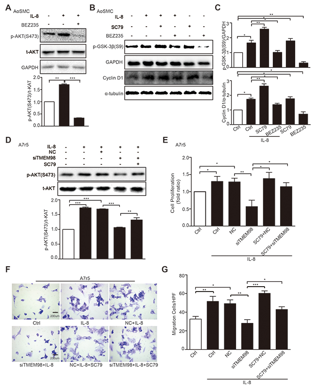 Effects of AKT signal pathway on IL-8-induced VSMC proliferation and migration with siRNA-TMEM98 treatment.