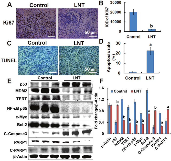 Effects of LNT on tumor cells proliferation and apoptosis in MCF-7 tumor-bearing nude mice.