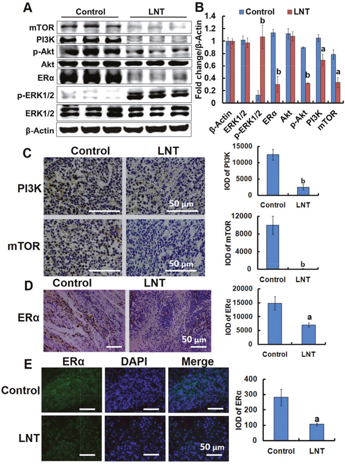 LNT suppresses the PI3K/Akt/mTOR pathway activation and ERα expression in MCF-7 tumor–bearing nude mice.