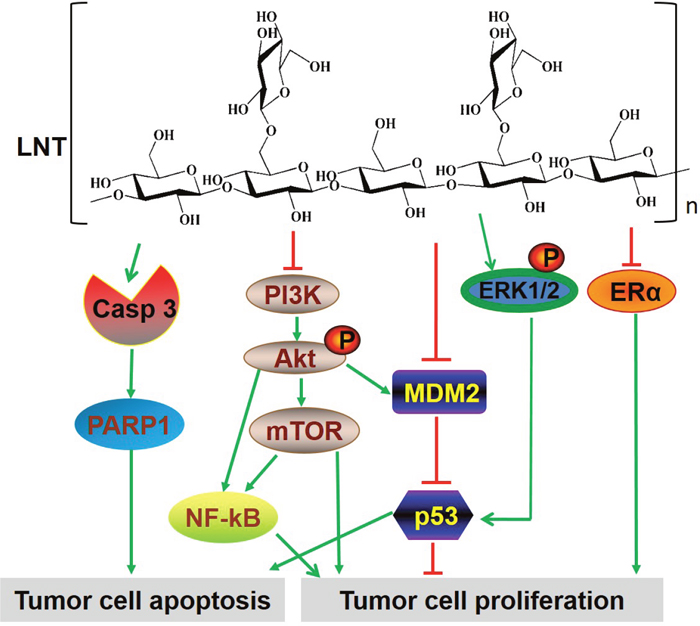 The multiple signaling pathways possibly involved in LNT-treated ER+ MCF-7 breast tumor tissues.