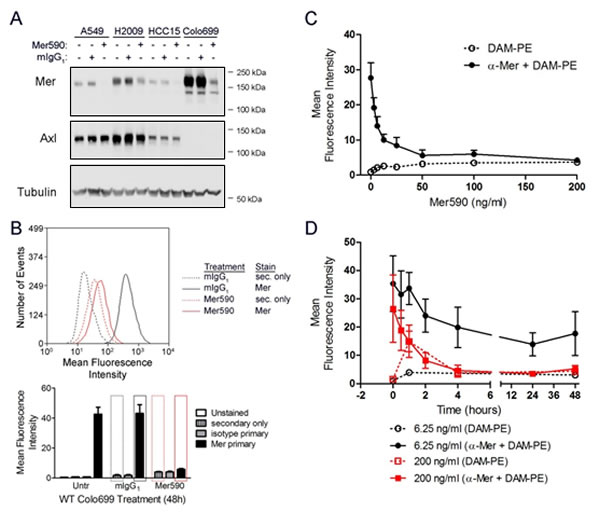 A novel inhibitory anti-MER antibody, Mer590, reduces total cellular and surface expression of MER.