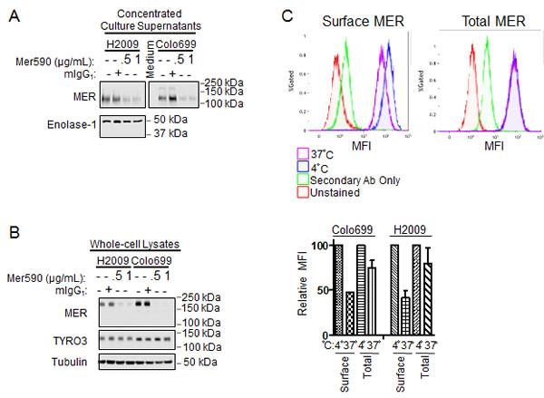 Mer590 induces internalization of surface MER.