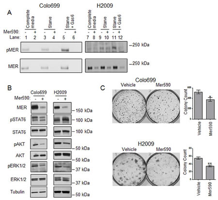 Mer590 inhibits ligand-dependent phosphorylation, activation of downstream signaling pathways, and colony formation in NSCLC cells.