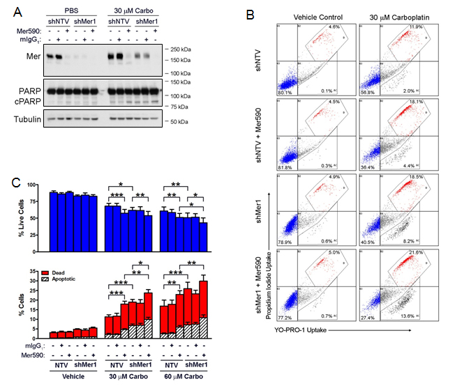 Mer590 has combinatorial effects with shRNA against MER to promote carboplatin-induced apoptotic cell death of NSCLC cells.