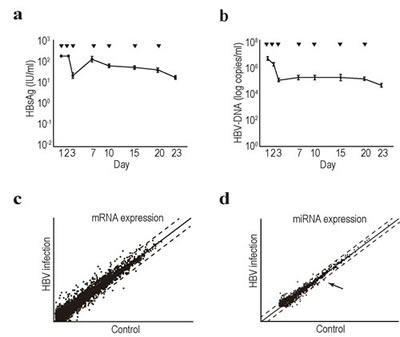 Comprehensive transcriptome and miRNA analyses in HBV-replicating human primary hepatocytes.
