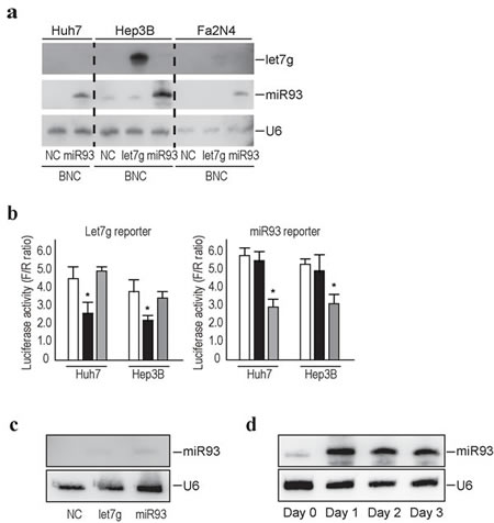 Efficient delivery of miRNAs into liver cell lines using BNCs.